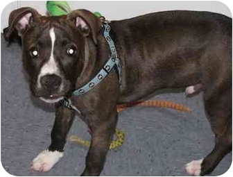 American Staffordshire Terrier Puppy for adoption in Rougemont, North Carolina - Oswald