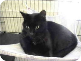 Domestic Shorthair Cat for adoption in Columbiaville, Michigan - Portia
