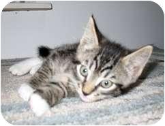 Domestic Mediumhair Kitten for adoption in Shelton, Washington - Denny