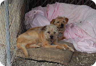 Schnauzer (Standard)/Terrier (Unknown Type, Medium) Mix Dog for adoption in Creston, California - Skittles