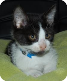 Domestic Shorthair Kitten for adoption in Crosby, Texas - Bubba
