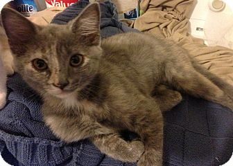 Domestic Shorthair Kitten for adoption in Hendersonville, Tennessee - Ash