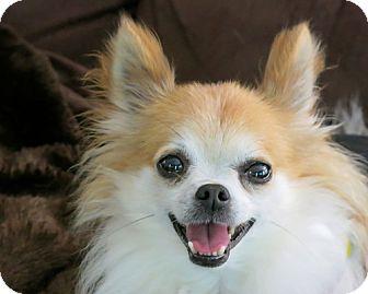 Chihuahua/Pomeranian Mix Dog for adoption in High Point, North Carolina - Prince