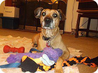 Labrador Retriever/Beagle Mix Dog for adoption in Hampton, Virginia - Bella