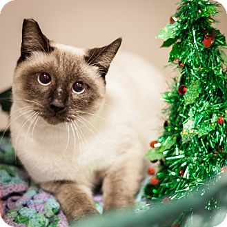 Siamese Kitten for adoption in Dallas, Texas - Simba