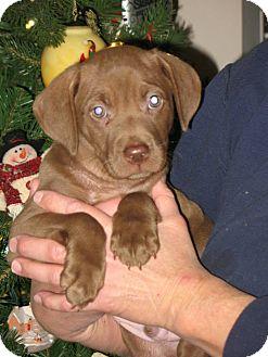 Weimaraner/Retriever (Unknown Type) Mix Puppy for adoption in Derry, New Hampshire - Jonas