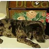 Adopt A Pet :: Camo - Silsbee, TX