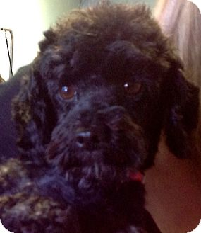 Toy Poodle Mix Dog for adoption in Thousand Oaks, California - Sally