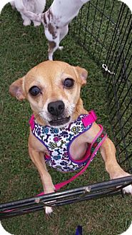 Chihuahua Mix Dog for adoption in Westford, Vermont - Happy