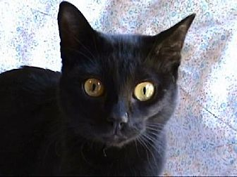 Domestic Shorthair Cat for adoption in Tyler, Texas - A-Sophia