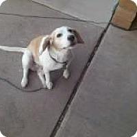 Adopt A Pet :: Roxi Lu - Phoenix, AZ