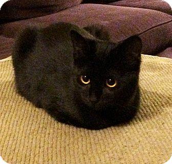 Domestic Shorthair Kitten for adoption in Lombard, Illinois - Mirielle