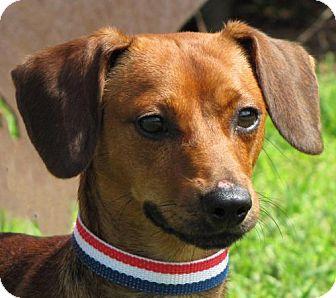 Dachshund Mix Dog for adoption in Port St. Joe, Florida - Lyle