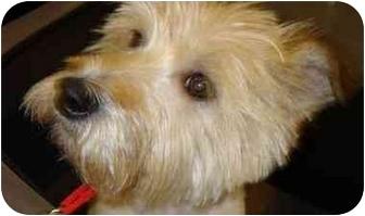 Cairn Terrier/Wheaten Terrier Mix Dog for adoption in Houston, Texas - Bogey