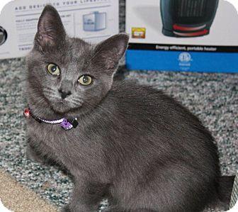 Domestic Shorthair Kitten for adoption in Woodstock, Ontario - Sassy