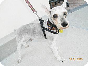 Schnauzer (Miniature) Mix Dog for adoption in Umatilla, Florida - Captain