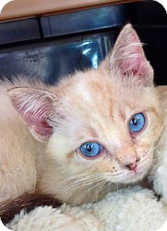 Siamese Kitten for adoption in Putnam Hall, Florida - Rosy