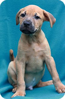 Labrador Retriever Mix Puppy for adoption in Waldorf, Maryland - Nixon