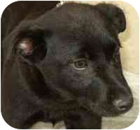 Labrador Retriever Mix Puppy for adoption in Carrollton, Texas - Spyro