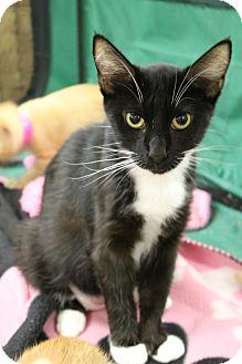 Domestic Shorthair Cat for adoption in Medina, Ohio - Andi Jo