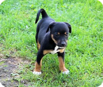 Chihuahua Mix Puppy for adoption in Liberty Center, Ohio - Hoss