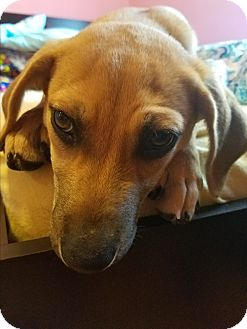 Hound (Unknown Type) Mix Puppy for adoption in Carlisle, Pennsylvania - Lucy Lou