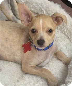 Chihuahua Mix Puppy for adoption in Thousand Oaks, California - Hansel