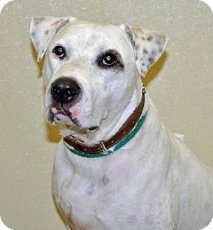Dalmatian Mix Dog for adoption in Port Washington, New York - Petey