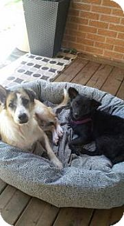 Collie/Terrier (Unknown Type, Small) Mix Dog for adoption in Toronto, Ontario - Kali and Little Monkey