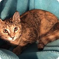 Domestic Shorthair Kitten for adoption in Grove City, Ohio - Vea