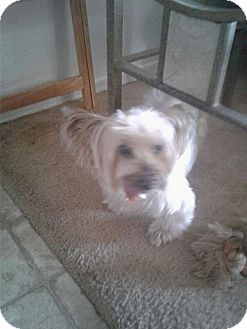 Yorkie, Yorkshire Terrier Dog for adoption in Goodyear, Arizona - Dutchess