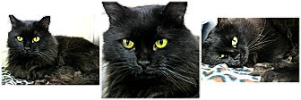 Domestic Longhair Cat for adoption in Forked River, New Jersey - Riddler