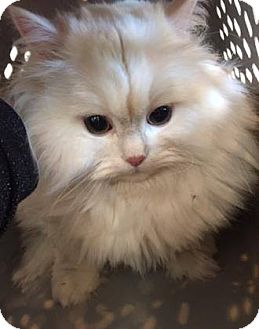 Persian Cat for adoption in THORNHILL, Ontario - MONKEY