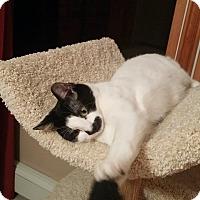 Adopt A Pet :: Rosie-female white w/ black - Manasquan, NJ