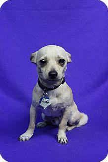 Chihuahua Mix Dog for adoption in Westminster, Colorado - DANIEL