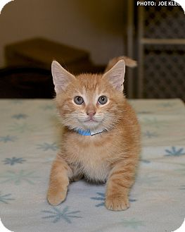 Domestic Shorthair Kitten for adoption in Medina, Ohio - Mario