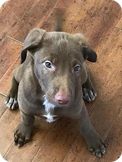 Labrador Retriever Mix Puppy for adoption in Charlotte, North Carolina - Claire