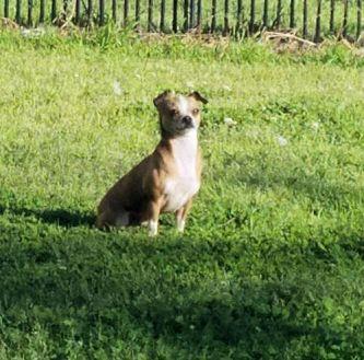 Chihuahua Dog for adoption in Rock Hill, South Carolina - Cisco Kid