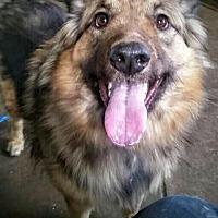 Shepherd (Unknown Type) Mix Dog for adoption in Colfax, Illinois - Shaka