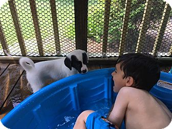 Australian Shepherd Mix Puppy for adoption in Columbia, Maryland - Piper