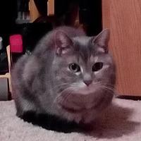 Adopt A Pet :: Silky - Rochester, MN