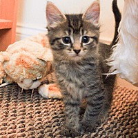 Adopt A Pet :: Sawyer - Forest Hills, NY