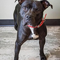 Adopt A Pet :: Boss - Rockwall, TX