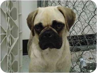 Pug/Beagle Mix Dog for adoption in Vandalia, Illinois - Hanna