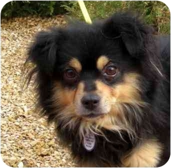 Chihuahua Mix Dog for adoption in Palmdale, California - Lancelot