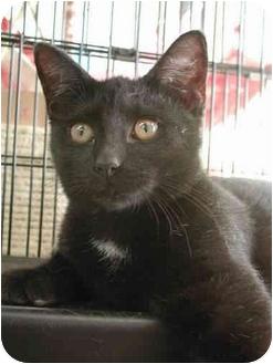 Bombay Kitten for adoption in Fort Lauderdale, Florida - Raisenette