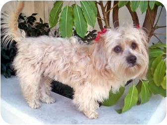 Lhasa Apso/Cairn Terrier Mix Dog for adoption in Los Angeles, California - OLIVIA