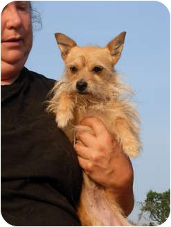 Terrier (Unknown Type, Small)/Chihuahua Mix Dog for adoption in Wilmington, Delaware - Isabella