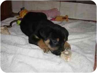 Rottweiler/Labrador Retriever Mix Puppy for adoption in San Diego/North County, California - Charlie