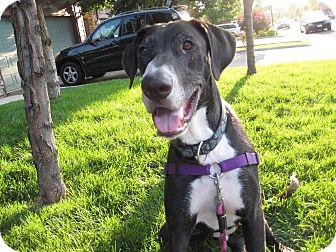 Great Dane/Labrador Retriever Mix Dog for adoption in Broomfield, Colorado - Gus